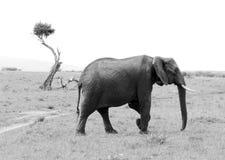 穿过在马塞人玛拉比赛储备的大象一条路 库存照片