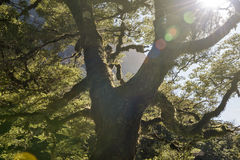 穿过大树的阳光光芒 图库摄影