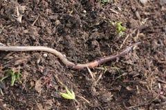 穿过庭院的地球蠕虫 免版税库存照片