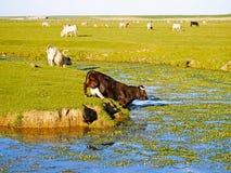 穿过春天的母牛一条河 图库摄影