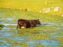 穿过春天的母牛一条河 免版税图库摄影