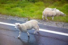 穿过柏油路,特写镜头的绵羊 库存照片