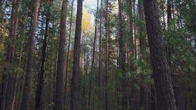 穿过树林 秋天天气宜人 太阳光在树枝上照耀 神秘云杉林 股票录像