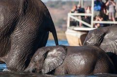 穿过河的大象 库存照片