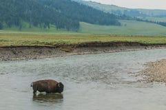 穿过河的野生水牛城 免版税图库摄影