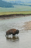 穿过河的野生水牛城 免版税库存照片