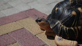 穿过涂柏油的路的幼小乌龟 影视素材