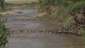 穿过玛拉河的角马。 影视素材