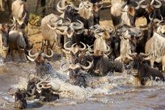 穿过玛拉河的角马特写镜头 图库摄影