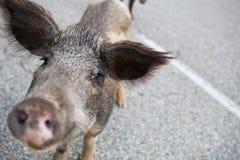 穿过路的公猪通配 库存图片