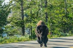 穿过路的北美野牛 图库摄影