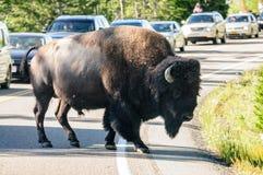 穿过路的北美野牛 免版税库存照片