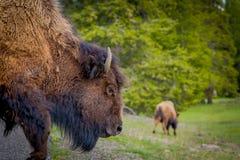 穿过路的巨大的棕色北美野牛选择聚焦在黄石国家公园在被弄脏的自然背景中 免版税库存图片