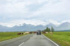 穿过路的母牛牧群  库存照片