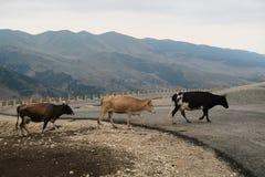 穿过路的母牛 免版税库存图片