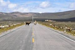 穿过路的羊魄在沙漠中间 免版税库存照片