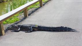 穿过路的美国短吻鳄 图库摄影