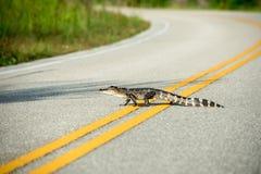 穿过路的美国短吻鳄 库存照片