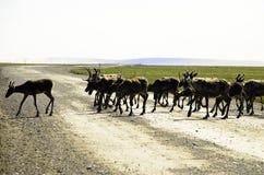 穿过路的野生北美驯鹿 图库摄影