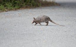 穿过路的野生犰狳 免版税图库摄影