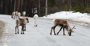 穿过路的驯鹿 免版税库存照片