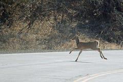穿过路的鹿 库存照片