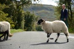 穿过路的绵羊和农夫 库存图片