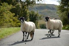 穿过路的绵羊 免版税库存照片