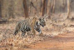 穿过路的Subadult老虎在Tadoba老虎储备马哈拉施特拉,印度 图库摄影