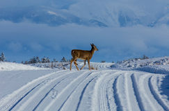 穿过雪道的白尾鹿母鹿 免版税库存照片