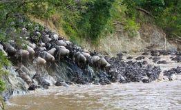 穿过马塞人的玛拉,肯尼亚的角马一条河 免版税库存图片