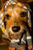 穿围巾的逗人喜爱的布朗被注视的狗 免版税库存图片