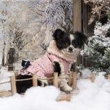 穿戴的奇瓦瓦狗小狗坐桥梁 库存照片