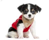 穿戴的奇瓦瓦狗小狗开会,看照相机 免版税库存图片