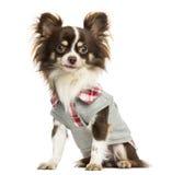 穿戴的奇瓦瓦狗开会,看照相机 库存图片