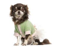 穿戴的奇瓦瓦狗开会,看照相机 免版税图库摄影