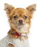 穿戴的奇瓦瓦狗的特写镜头,看照相机 图库摄影