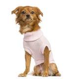 穿戴的混杂品种奇瓦瓦狗开会, 10个月 免版税库存图片