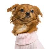 穿戴的混杂品种奇瓦瓦狗的特写镜头, 10个月 免版税库存图片