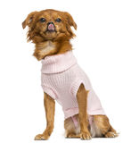 穿戴的混杂品种奇瓦瓦狗舔,坐 免版税图库摄影