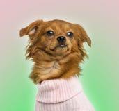 穿戴的混杂品种奇瓦瓦狗, 10个月, 图库摄影