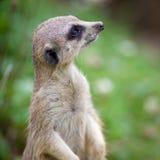 突出卫兵的meerkat注意 库存图片