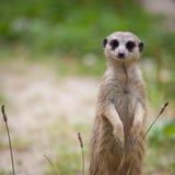 突出卫兵的meerkat注意 库存照片