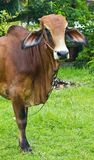 突出围场的婆罗门牛 免版税图库摄影