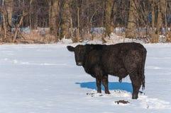 突出在一个多雪的草甸的黑色安格斯公牛 免版税库存图片