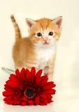 突出在一朵红色花之后的小的小猫 免版税图库摄影