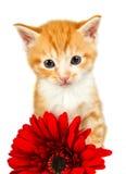 突出在一朵红色花之后的Ginder小猫 库存照片