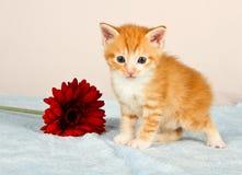 突出在一朵红色花旁边的可爱的小的小猫 免版税图库摄影