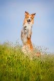 突出在他的愉快的狗后面 免版税库存照片