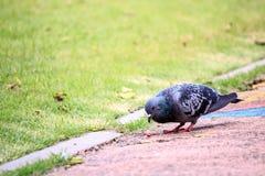 突出在公园的鸽子 免版税图库摄影